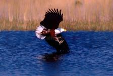 Águia pesqueira, Delta e Okavango-Botswana