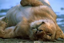 Leão, Cratera de Ngorongoro-Tanzânia