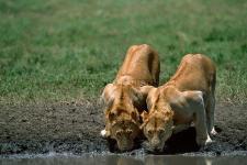 Jovens leões, P.N. Serengeti-Tanzânia