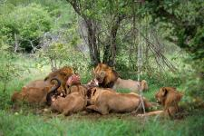 Leões, Mala Mala-África do Sul