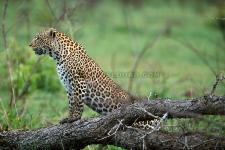 Leopardo, Londolozi-África do Sul