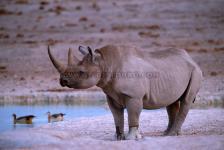 Rinoceronte Preto, P.N. Etosha-Namíbia