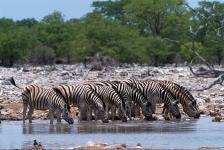 Zebras, P.N. Etosha-Namíbia