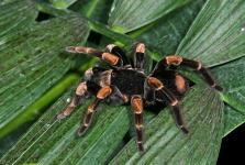 Tarantula Orange Kneed Megaphobema mesomelas