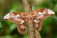 Rothschildia orizaba - Mexico