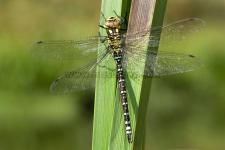 Aeshna cyanea, male