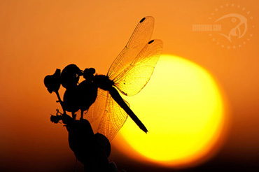 Luis Louro - Dragonflies - Photography