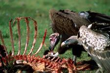 Abutres, P.N. Serengeti-Tanzânia