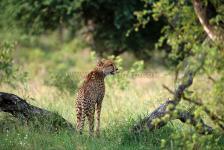 Cheetah, Londolozi-South Africa