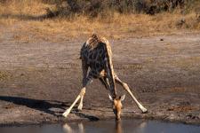 Giraffe, Hwange N.P.-Zimbabwe
