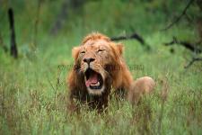Leão, Mala Mala-África do Sul