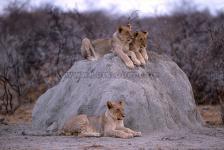 Lion cubs, Etosha N.P.-Namibia