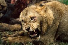 Lion, Mala Mala-South Africa