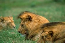 Leões, P.N. Serengeti-Tanzânia