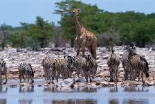 Zebras e girafa, P.N. Etosha-Namíbia