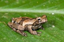 Anura Dendropsophus parviceps