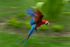 Arara Vermelha - Ara-macao