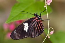 Borboleta Heliconius doris