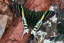 Butterfly Urania leilus