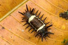 Caterpillar Acharia nesea