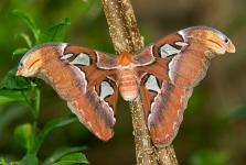 Attacus atlas - Asia