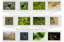 Luis Louro Fotografia - Flirckr.com - Dragonflies and Damselflies Calendario 2011